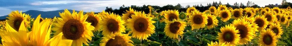 slunečnice malá